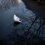 Μόνο άσπρο περιστέρι στο νερό Στοκ Εικόνες