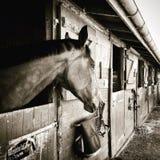 Μόνο άλογο Στοκ Εικόνες