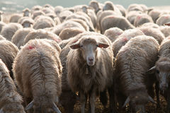 Μόνο ένα πρόβατο βλέπει τη κάμερα σκέφτεται διαφορετικό Στοκ Φωτογραφίες