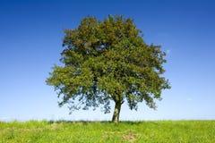 μόνο δέντρο μήλων Στοκ φωτογραφία με δικαίωμα ελεύθερης χρήσης