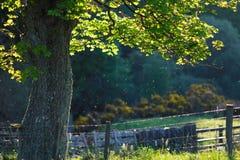 Μόνο δέντρο με τις ακτίνες ήλιων Στοκ Εικόνες