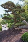 Μόνο δέντρο πεύκων στον ιαπωνικό κήπο Στοκ φωτογραφία με δικαίωμα ελεύθερης χρήσης