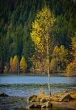 Μόνο δέντρο σημύδων Στοκ φωτογραφίες με δικαίωμα ελεύθερης χρήσης