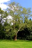 Μόνο δέντρο στα σύνορα του καθαρίσματος πάρκων στοκ εικόνες με δικαίωμα ελεύθερης χρήσης