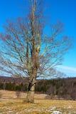 Μόνο δέντρο στους να κάνει σκι επαρχίας τομείς Στοκ Φωτογραφία