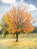 μόνο δέντρο φθινοπώρου Στοκ φωτογραφία με δικαίωμα ελεύθερης χρήσης