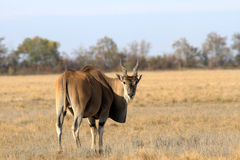 Taurotragus oryx Στοκ Φωτογραφία