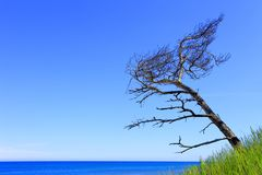 Μόνο δέντρο πεύκων στους αμμόλοφους άμμου και την παραλία της ακτής της θάλασσας της Βαλτικής lin Στοκ Εικόνες