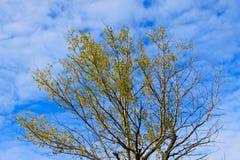 Μόνο δέντρο πτώσης ενάντια στο μπλε ουρανό Στοκ εικόνα με δικαίωμα ελεύθερης χρήσης