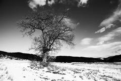 Μόνο δέντρο στα χειμερινά λιβάδια Στοκ Εικόνες