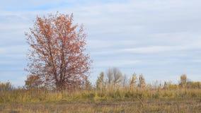 Μόνο δέντρο στον τομέα με τα κόκκινα φύλλα φθινοπώρου απόθεμα βίντεο