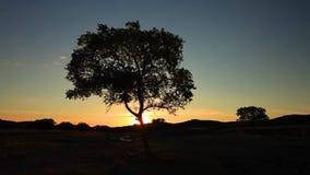 Μόνο δέντρο στο θερινό τομέα στο ηλιοβασίλεμα απόθεμα βίντεο