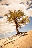 Μόνο δέντρο στο ξηρό έδαφος στο φαράγγι του Bryce Στοκ εικόνα με δικαίωμα ελεύθερης χρήσης
