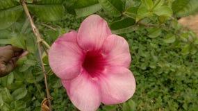 Μόνο ενιαίο λουλούδι με το ροδαλό χρώμα Στοκ Φωτογραφία