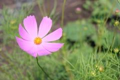 Μόνο ιώδες echinacea λουλουδιών στοκ φωτογραφία με δικαίωμα ελεύθερης χρήσης