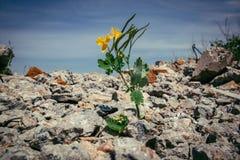 Μόνο κίτρινο λουλούδι στο κέντρο ενός μεταλλοφόρου κοιτάσματος πετρών των τούβλων στοκ φωτογραφίες