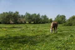 Μόνο καφετί άλογο σε μια αλυσίδα που βόσκει στο πράσινο λιβάδι με τα κίτρινα λουλούδια ενάντια στο μπλε ουρανό και τα δέντρα καλλ Στοκ Φωτογραφία