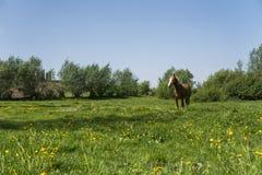 Μόνο καφετί άλογο σε μια αλυσίδα που βόσκει στο πράσινο λιβάδι με τα κίτρινα λουλούδια ενάντια στο μπλε ουρανό και τα δέντρα καλλ Στοκ φωτογραφία με δικαίωμα ελεύθερης χρήσης