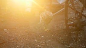 Μόνο κοτόπουλο στο ναυπηγείο απόθεμα βίντεο