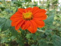 Μόνο κόκκινο λουλούδι Στοκ Φωτογραφίες