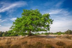 Μόνο μεγάλο μεγαλοπρεπές πράσινο δέντρο στο τοπίο αμμόλοφων, μπλε ουρανός πανοράματος αμμόλοφων Στοκ Εικόνα