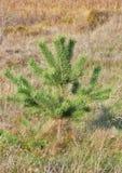 Μόνο μικρό δέντρο πεύκων Στοκ Φωτογραφίες