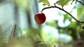 Μόνο μούρο του του βακκίνιου στο δασικό κόκκινο μούρο της ένωσης των βακκίνιων στον κλάδο απόθεμα βίντεο