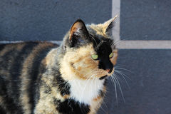 μόνο περιπλανώμενο χρώμα tricolor ταρταρουγών γατών Στοκ εικόνα με δικαίωμα ελεύθερης χρήσης