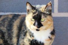 μόνο περιπλανώμενο χρώμα tricolor ταρταρουγών γατών Στοκ Φωτογραφία