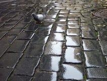 Μόνο περιστέρι σε μια υγρή coble οδό Στοκ Εικόνες