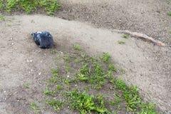 Μόνο περιστέρι στο έδαφος Στοκ φωτογραφία με δικαίωμα ελεύθερης χρήσης