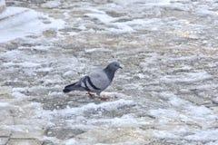 Μόνο περιστέρι στο χιόνι Στοκ Εικόνες