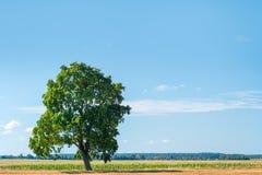 Μόνο πράσινο δέντρο σε έναν πράσινο τομέα Στοκ εικόνα με δικαίωμα ελεύθερης χρήσης
