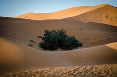 Μόνο πράσινο δέντρο στους αμμόλοφους ερήμων Στοκ Εικόνες