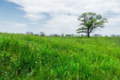 Μόνο πράσινο δέντρο στη μέση ενός τομέα λιβαδιών σε ένα κλίμα μπλε ουρανού με τα άσπρα σύννεφα μπλε σύννεφων πλήρες πράσινο τοπίο Στοκ εικόνες με δικαίωμα ελεύθερης χρήσης