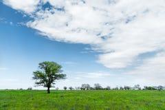 Μόνο πράσινο δέντρο στη μέση ενός τομέα λιβαδιών σε ένα κλίμα μπλε ουρανού με τα άσπρα σύννεφα μπλε σύννεφων πλήρες πράσινο τοπίο Στοκ Εικόνα