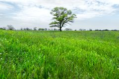 Μόνο πράσινο δέντρο στη μέση ενός τομέα λιβαδιών σε ένα κλίμα μπλε ουρανού με τα άσπρα σύννεφα μπλε σύννεφων πλήρες πράσινο τοπίο Στοκ Φωτογραφίες