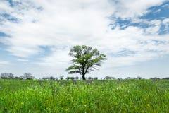 Μόνο πράσινο δέντρο στη μέση ενός τομέα λιβαδιών σε ένα κλίμα μπλε ουρανού με τα άσπρα σύννεφα μπλε σύννεφων πλήρες πράσινο τοπίο Στοκ φωτογραφίες με δικαίωμα ελεύθερης χρήσης
