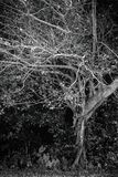 Μόνο σκοτεινό δέντρο γραπτό Στοκ εικόνα με δικαίωμα ελεύθερης χρήσης