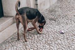 Μόνο σκυλί περπατήματος στοκ εικόνα
