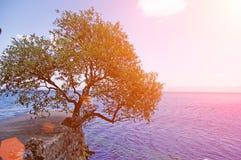 μόνο όμορφο δέντρο θερινού ηλιοβασιλέματος τοπίων πεδίων πράσινο Στοκ Φωτογραφία