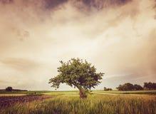 μόνο όμορφο δέντρο θερινού ηλιοβασιλέματος τοπίων πεδίων πράσινο Στοκ φωτογραφίες με δικαίωμα ελεύθερης χρήσης