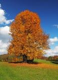 Μόνο όμορφο δέντρο φθινοπώρου Τοπίο φθινοπώρου Στοκ Εικόνες