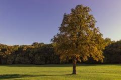 Μόνο όμορφο δέντρο φθινοπώρου Στοκ Εικόνες