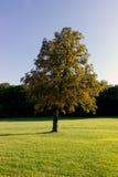 Μόνο όμορφο δέντρο φθινοπώρου Στοκ φωτογραφία με δικαίωμα ελεύθερης χρήσης