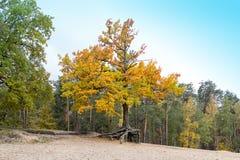 Μόνο όμορφο δέντρο φθινοπώρου Μεγάλη βαλανιδιά φθινοπώρου Στοκ φωτογραφία με δικαίωμα ελεύθερης χρήσης