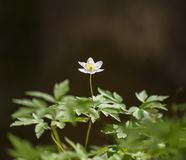 Μόνο anemone στο δάσος Στοκ φωτογραφία με δικαίωμα ελεύθερης χρήσης