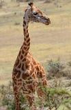 Μόνο giraffe στη σαβάνα Στοκ εικόνα με δικαίωμα ελεύθερης χρήσης