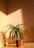 Μόνο Houseplant Στοκ φωτογραφία με δικαίωμα ελεύθερης χρήσης