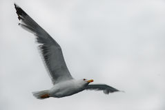 μόνο seagull ελευθερίας μυγών Στοκ Εικόνες